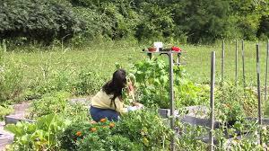 pest control for marigolds in a garden marigold gardening youtube