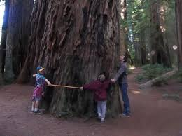 ten amazing facts about redwoods santa