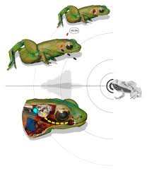 frog hears with its mouth surprises scientists u2013 national