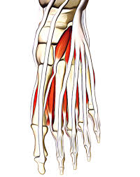 Foot Vascular Anatomy Muscles Of The Foot Earth U0027s Lab
