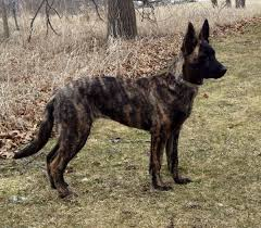 toilettage de l affenpinscher 87 best dog breeds images on pinterest dog breeds working dogs