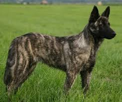 belgian shepherd dog temperament 823 best dog breeds images on pinterest animals german