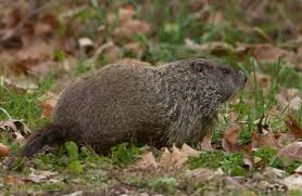 woodchuck groundhog mdc discover nature
