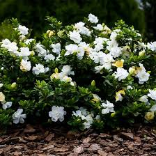 radicans gardenia for sale the tree center