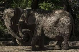 woolly mammoth 4 500 extinction