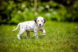 Dogs For The Blind Jobs Dalmatian Dog Breed Information Pictures Characteristics U0026 Facts