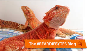 bearded dragon morphs bearded dragon breeders canada