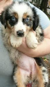 australian shepherd double coat australian shepherd puppy in hoobly classifieds