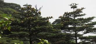 new individuals found of china s most threatened fir global trees