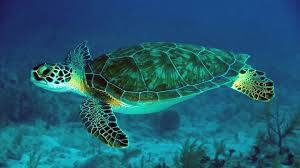 sea turtle wallpapers fantastic sea turtle pictures 2016 hq
