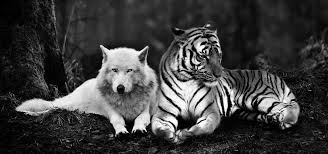 image cropped tiger and wolf by tyrondane d6x8a621 jpg