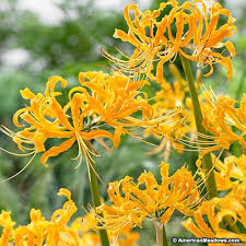yellow lilies yellow spider lycoris aurea american