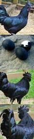 best backyard chickens 218 best backyard chickens images on pinterest backyard chickens