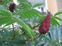 sumac an ornamental and culinary ausländer in berlin berlin