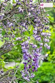 wisteria sinensis blue flowering my perfect garden