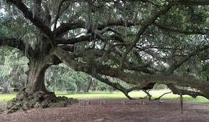 the tree of new orleans louisiana atlas obscura