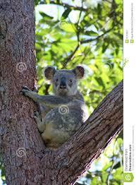 Eucalyptus Trees Koalas In Eucalyptus Trees