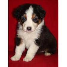 australian shepherd in california rutledge aussies australian shepherd dog breeder in hemet california