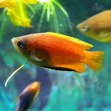 some of the freshwater fish available at oddball pets and aquariums