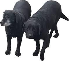 halloween card transparent background black and white dogs head transparent background