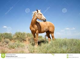 mustang horse beautiful mustang horse in a field stock image image 15091573