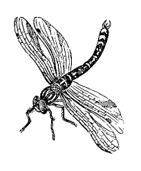 pix for dragonfly drawings in black and white clip art library
