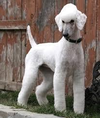 Dog Grooming Styles Haircuts J U0027aime Bien Cette Coupe Elle Fait Contemporaine Et Sied Bien Aux