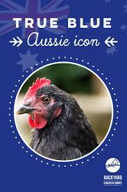 Musterk Hen Die Besten 25 Australorp Chicken Ideen Auf Pinterest Hühner