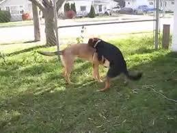 belgian shepherd x greyhound cutest german shepherd breed pet dogs mating in my home youtube