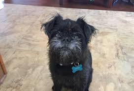 how to train dog to stop barking dog training tips to stop a brussels griffon from guarding the