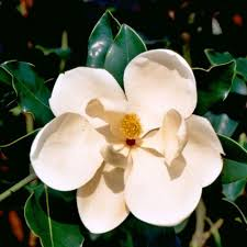 7 gal gem magnolia live evergreen tree white fragrant