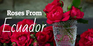 buy roses want to see the most beautiful roses available see the ecuadorian