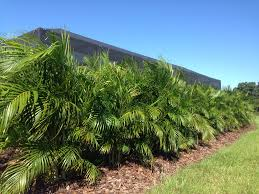 areca palms make a great privacy screen when planted as a u0027hedge