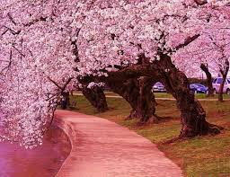 12 best japanese cherry blossom 333 images on blossom