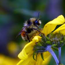 more flowers don u0027t mean healthier bees cosmos