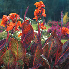 cana lilly canna i think i like this one with darker leaves better for