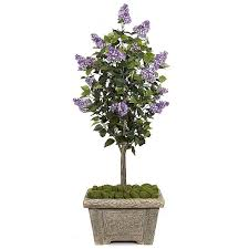 5 foot purple lilac tree potted w 80220