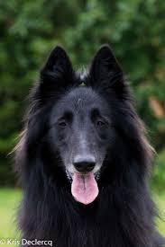 belgian sheepdog groenendael puppies 20 best belgian groenendael images on pinterest belgian shepherd