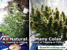 5 ways to increase yields with any strain grow weed easy