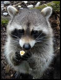 raccoons have a highly developed tactile sense their human like