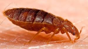 Pictures Of Tiny Red Bugs by I Spent Months Battling Bedbugs And Years Trying To Get Them Out