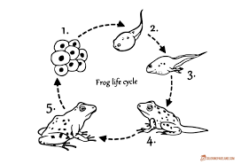 frog life cycle coloring pages cycle