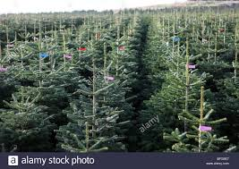 noble fir christmas tree rows of nordman and noble fir trees growing on a farm in east