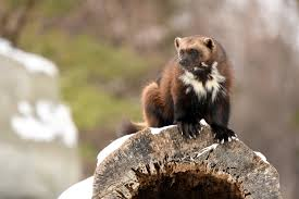 Michigan Wild Animals images No michigan 39 s first wolverine in 200 years was not just spotted jpg