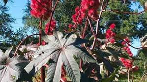 february of the month poisonous ornamental plants to avoid