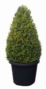 English Box Topiary - english box hedge plants wholesale