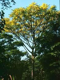 mexican tree fern mile a minute seeds schizolobium parahyba