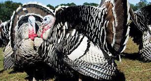 Cheap Turkey Find Turkey Deals On Line At Turkey Grownyc
