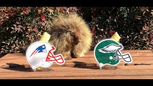 Ozzy The Grizzly Bear Picks The Eagles To Win The Super Bowl Local - teddy bear the porcupine predicts super bowl 52 youtube