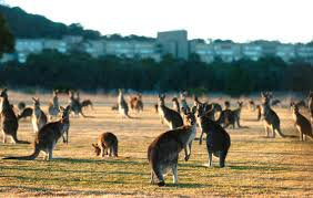 the culling season too many kangaroos loose in canberra the monthly